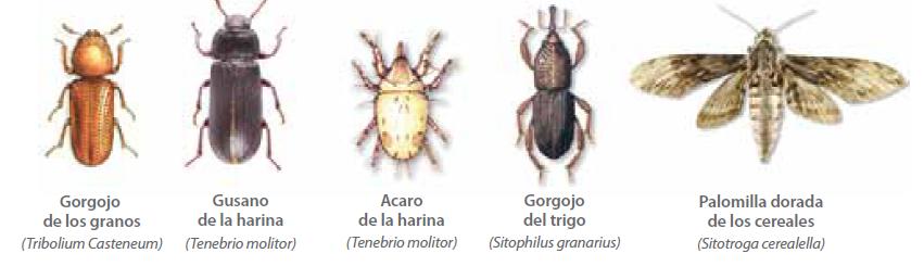 Plagas que ataca Pirilan